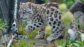 Yavru kar leoparları ilk kez açık alanda!