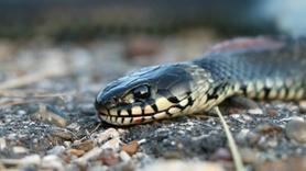 Altı kez yılan ısırdı!