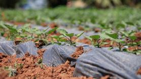 """30 yıl önce """"uyutulan"""" tohumlar toprakla buluştu"""