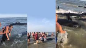 Kıyıya vuran 50 balina için seferber oldular!