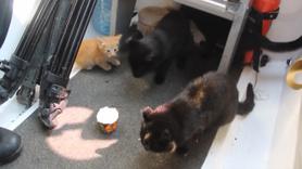 Selde mahsur kalan kedileri böyle kurtardılar