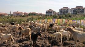 Eserleri ilgi görmeyince keçilere sergi açtı