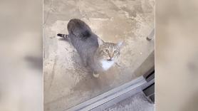 Kilit açan kedi tecrit edildi!