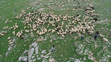 Şanlıurfa'da 5 bin lira maaşa çoban bulunamıyor!