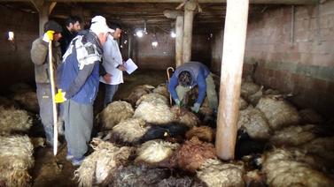 Mezrada aç kurt dehşeti! 79 koyunu telef ettiler