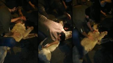 Çarptığı köpeğe kalp masajı yaptı ama...
