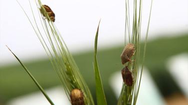 800 bin böcek doğaya salındı