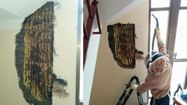 Evin duvarından 80 bin arı çıktı!