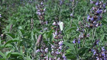 Balkonunuza arıların sevdiği çiçekleri ekin