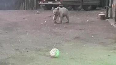 Yavru ayı bekçi ile top oynuyor