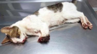 Ağır işkence gören kedi kurtarılamadı!
