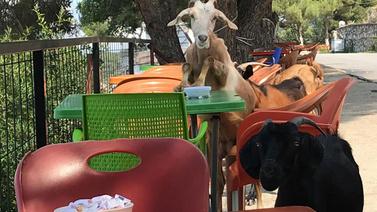Keçiler kafe bastı