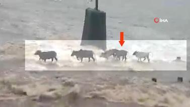 Sel suları hayvanları birer birer yuttu