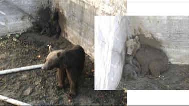 Depoya düşen anne ayı ve 2 yavrusu kurtarıldı