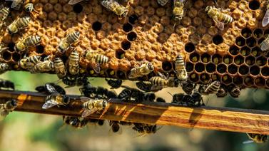 Arılar kovanları çalmaya çalışan adamı öldürdü