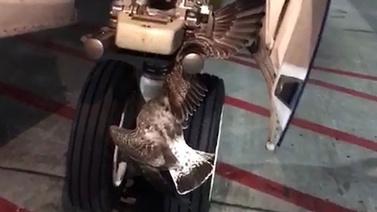 Uçağın iniş takımlarına kuşun kanadı sıkıştı!