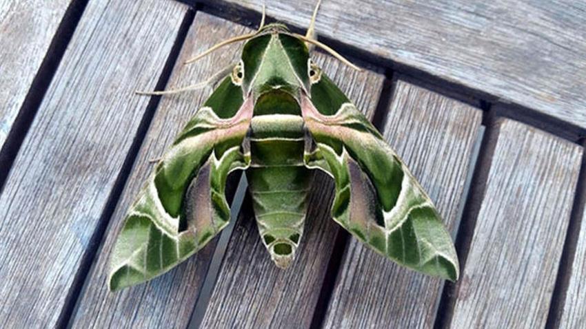 Muğla'da görüldü Daphnis Nerii isimli mekik kelebeği görüldü