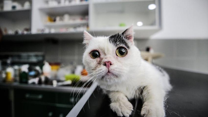 20 binde 1 görülüyor: Cüce kedi Kaju