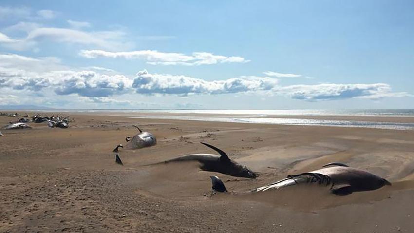 İzlanda'da 50 balina karaya vurdu