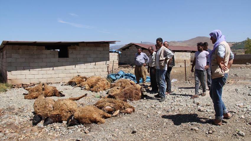 Kurtlar ahıra saldırdı: 15 telef, 10 kayıp