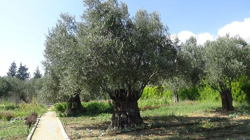 810 yıllık zeytin ağacı ilgi odağı oldu