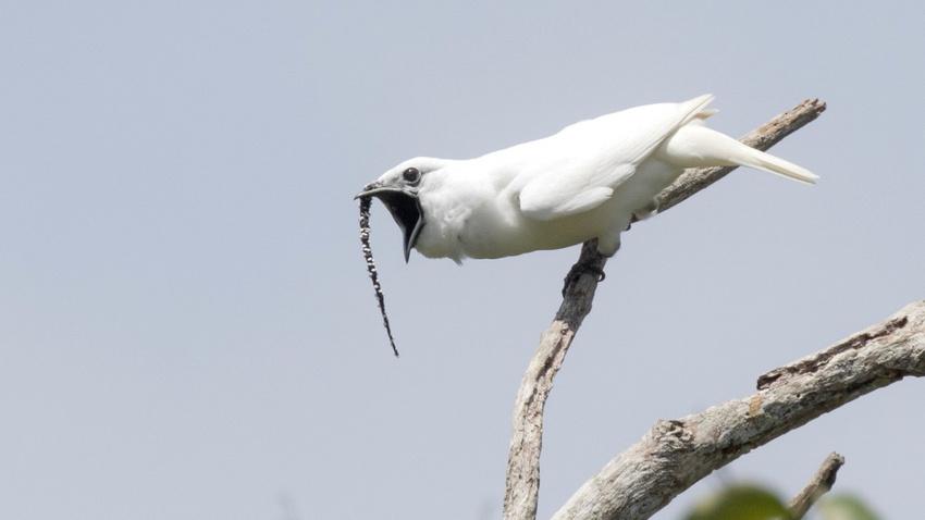 Dünyanın en gürültücü kuşu!