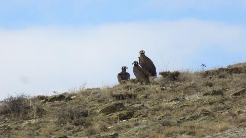 Kara Akbabalar Bayburt'ta görüntülendi