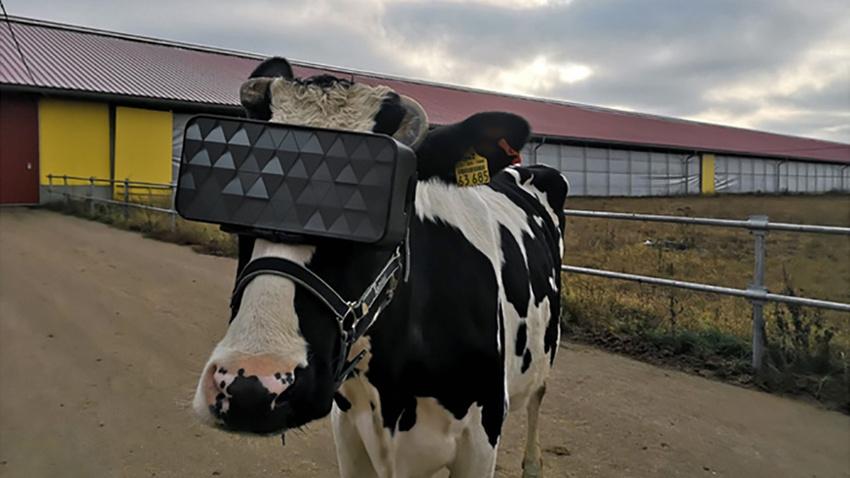 Sanal gerçeklik gözlüğü ineklerin duygusal durumlarını iyileştirdi!