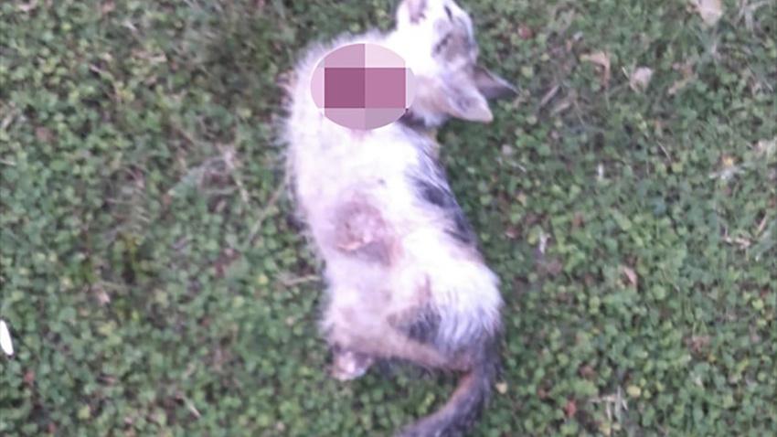 Vahşet bitmiyor! 4 bacağı kesilmiş kedi ölüsü bulundu