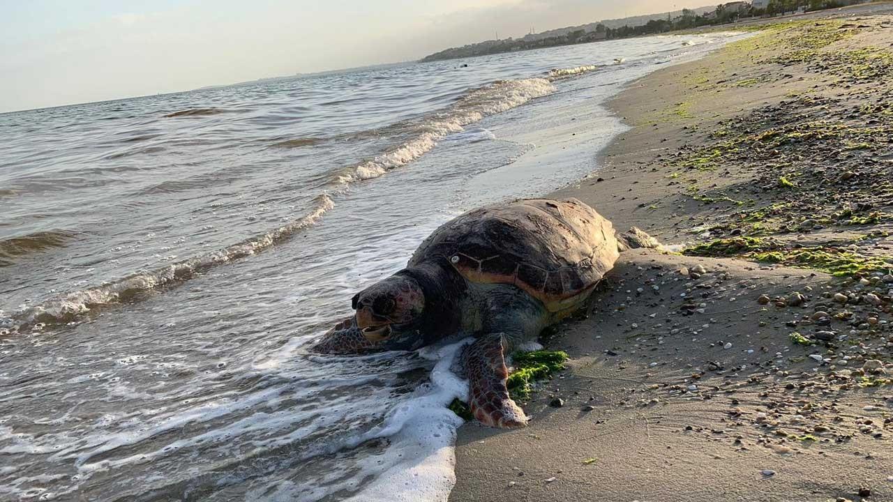 Silivri'de sahile vurdu, herkes şaşkına döndü!