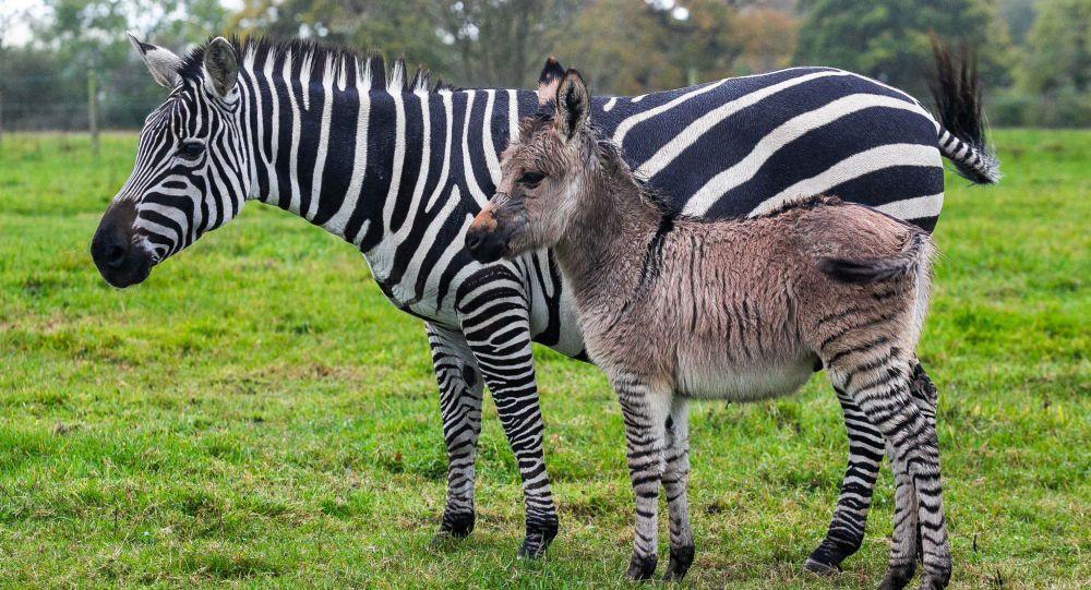 Zebra da eşek de değil - Sayfa 7