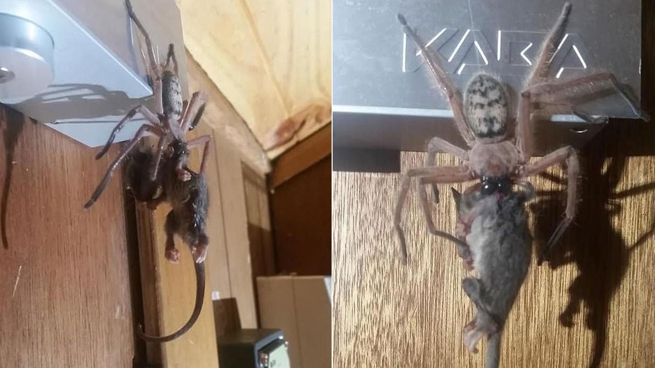 Örümcek fareyi böyle yedi!