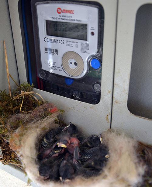 Yedi yavru uçana kadar elektrikler kapalı kalacak.