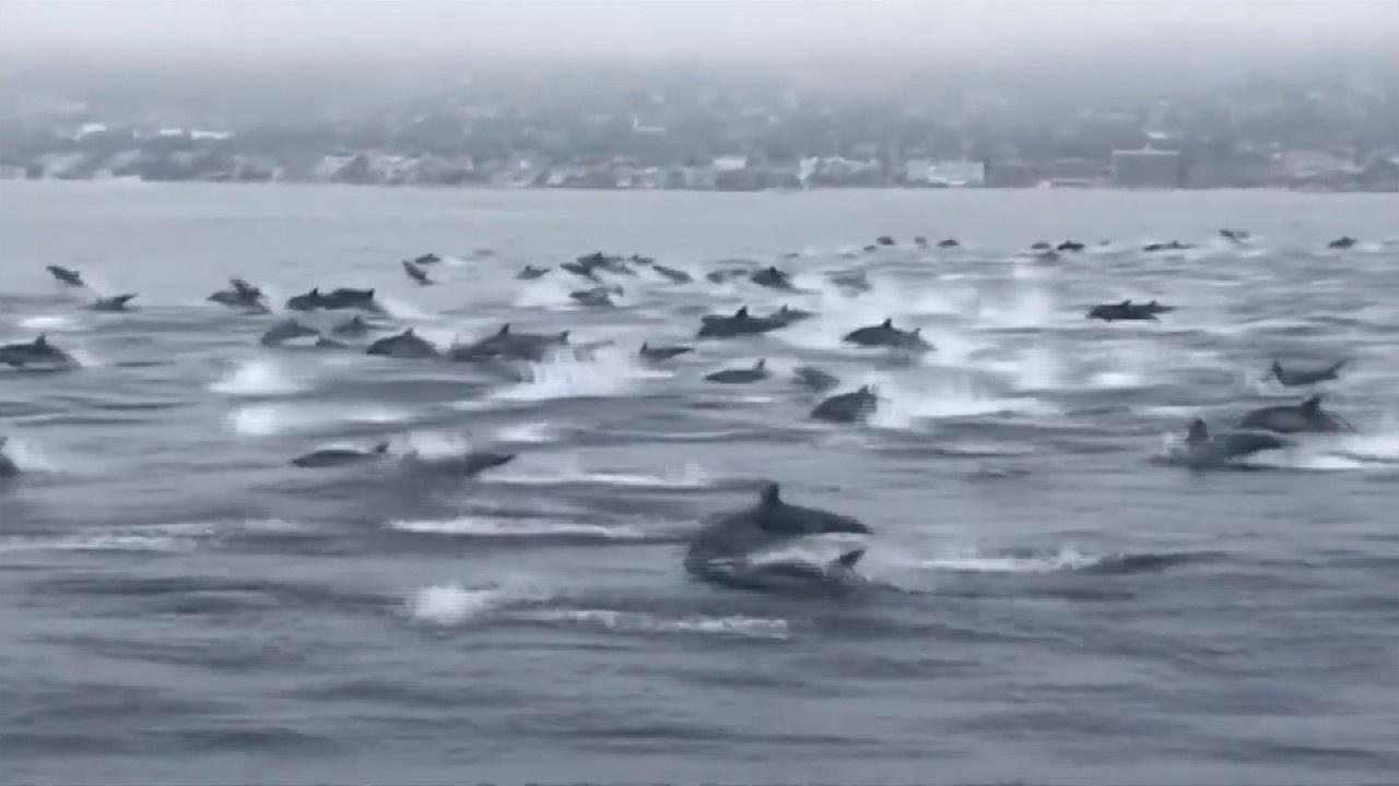 Yüzlerce yunus balıkçılarla böyle yüzdü...
