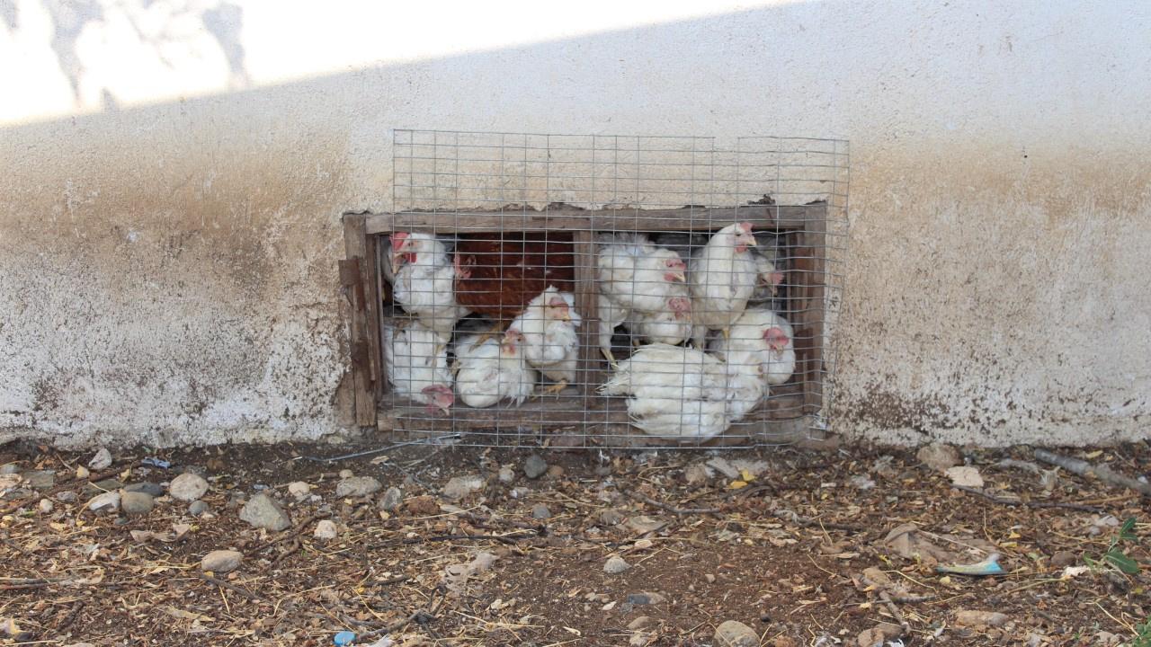 Ölüme terk edilen 40 bin tavuk açlıktan telef oldu