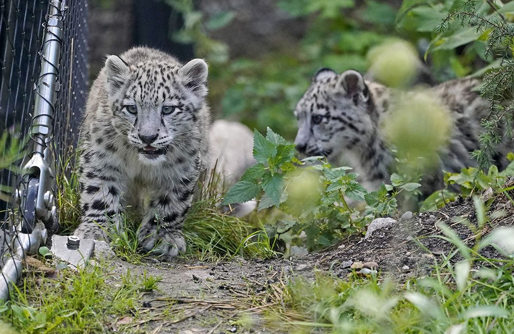 Yavru kar leoparları ilk kez açık alanda! - Sayfa 1