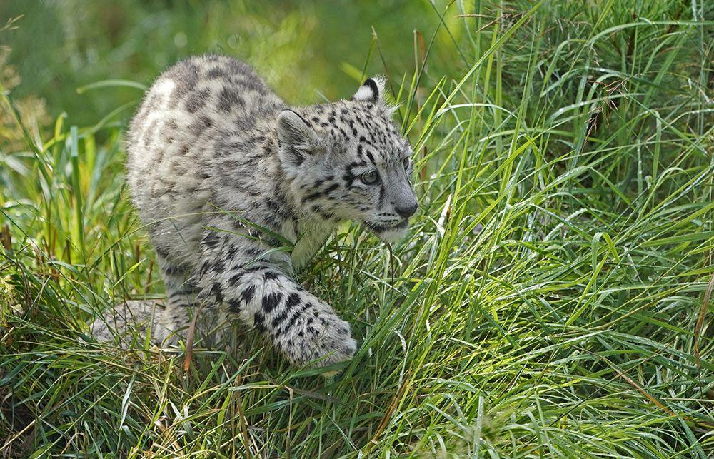 Yavru kar leoparları ilk kez açık alanda! - Sayfa 2