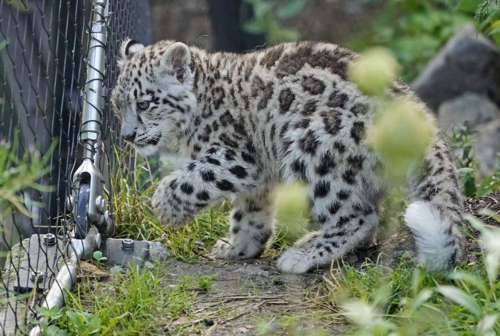 Yavru kar leoparları ilk kez açık alanda! - Sayfa 3