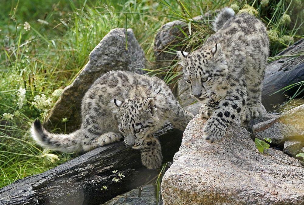 Yavru kar leoparları ilk kez açık alanda! - Sayfa 4