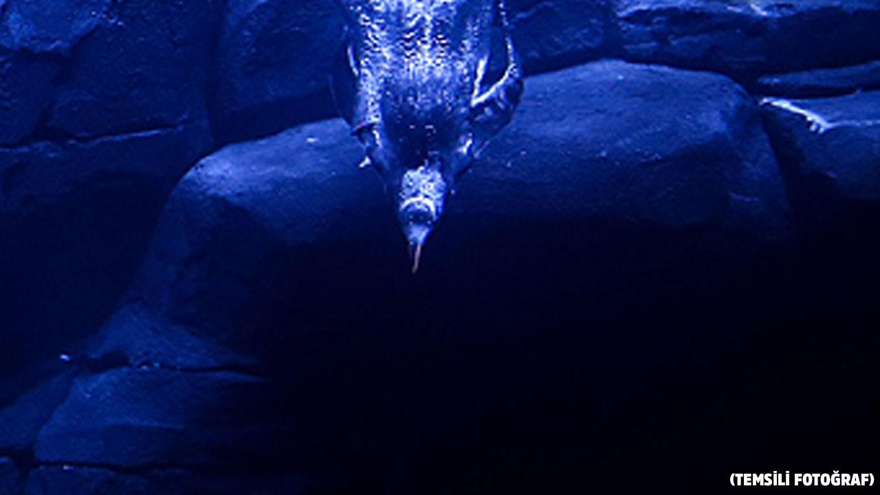 Yeni Zelanda'da bulundu!..  60 milyon yıllık, insan boyunda!