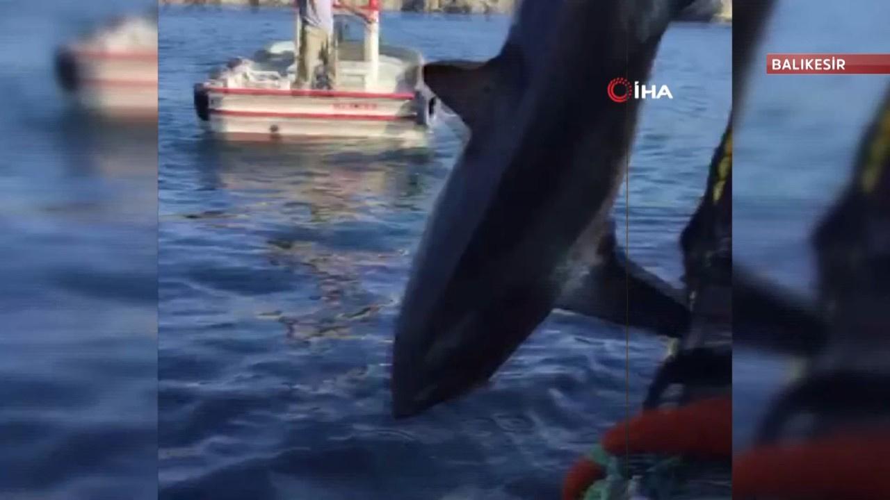 Balıkesir'de 4 metrelik köpek balığı