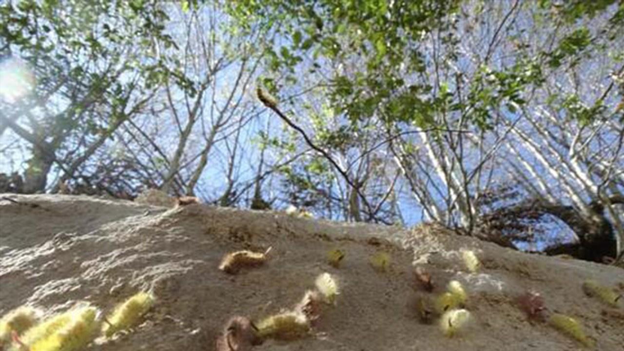 Tırtıl istilası! 250 hektar ormanlık alana yayıldı