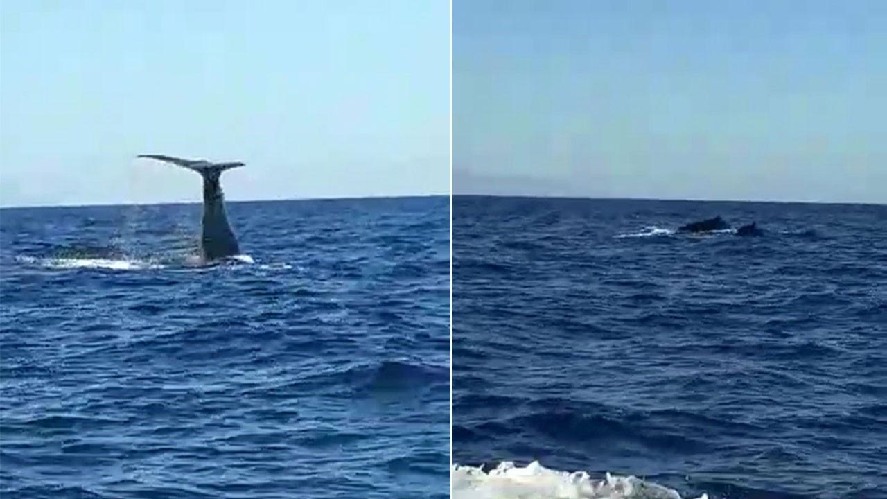 Alaçatı açıklarında balina görüldü!