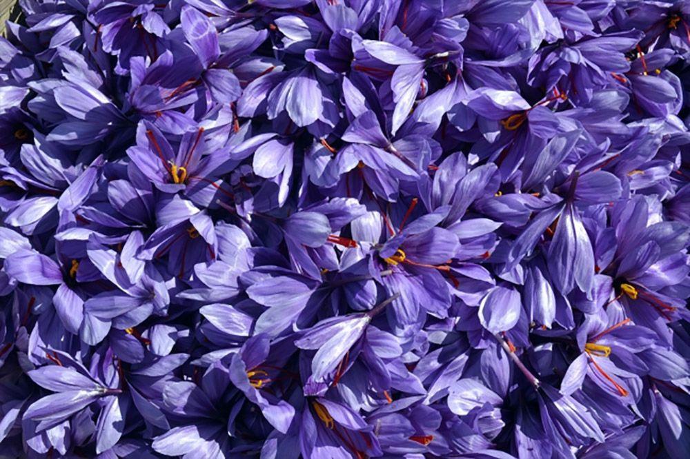 'Mucize bitki' safranda hasat zamanı - Sayfa 3