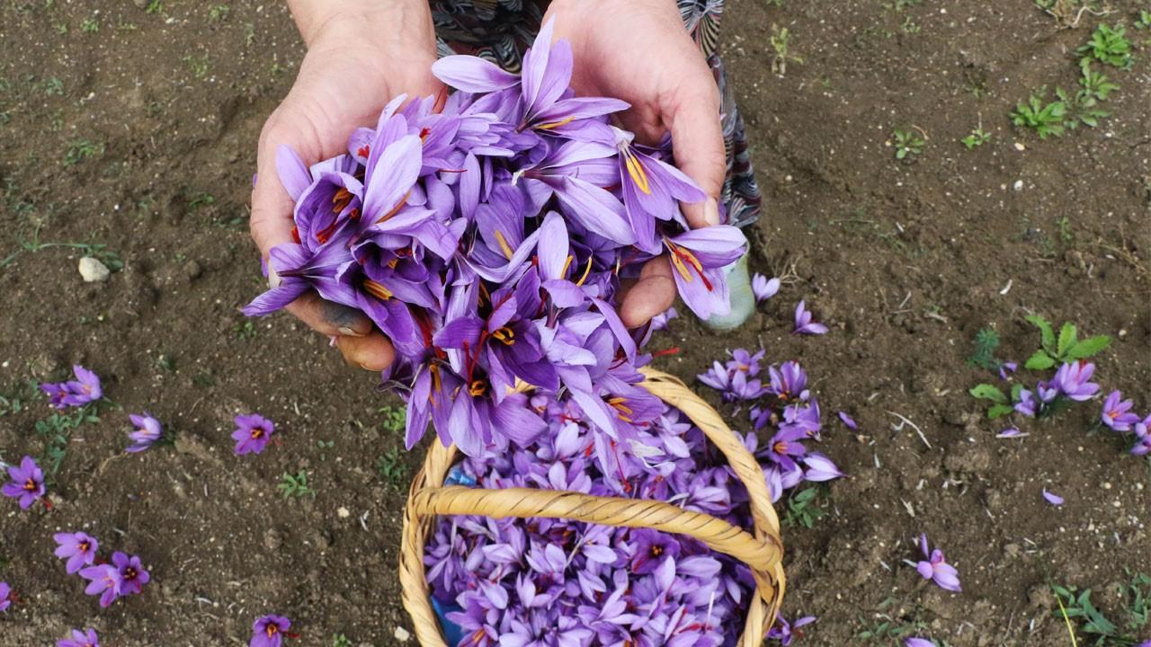 80 bin çiçekten sadece yarım kilogram üretilebiliyor!.. Kilosu 30 bin TL