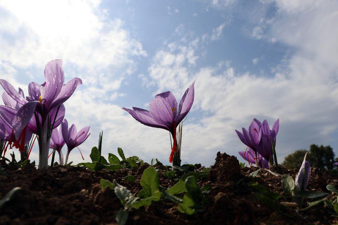 80 bin çiçekten sadece yarım kilogram üretilebiliyor!.. Kilosu 30 bin TL - Sayfa 1