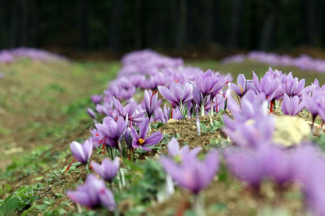 80 bin çiçekten sadece yarım kilogram üretilebiliyor!.. Kilosu 30 bin TL - Sayfa 2