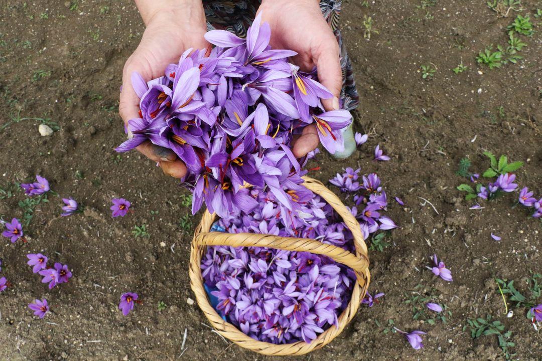 80 bin çiçekten sadece yarım kilogram üretilebiliyor!.. Kilosu 30 bin TL - Sayfa 4