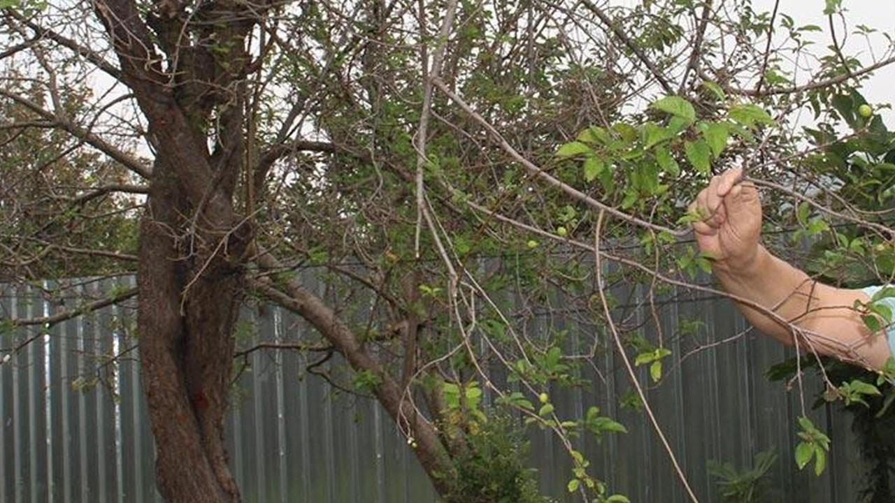 Erik ağacını görenler şaşkına döndü!