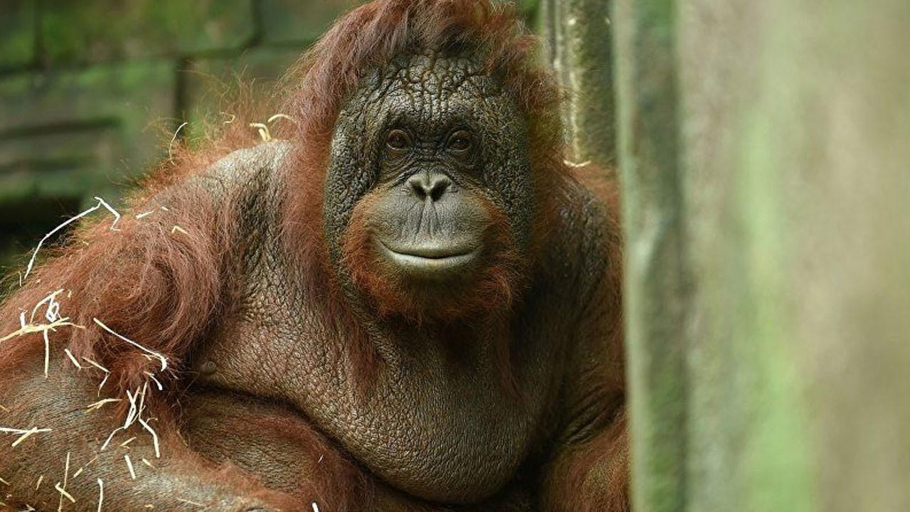 6 yıl seks işçisi olarak çalıştırılan orangutan!